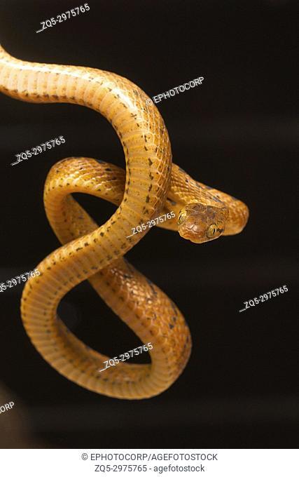 Beddome's cat snake, Boiga beddomei. Pune district, Maharashtra, India