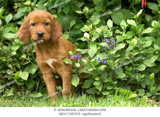 Dog - Irish / Red Setter puppy outdoors