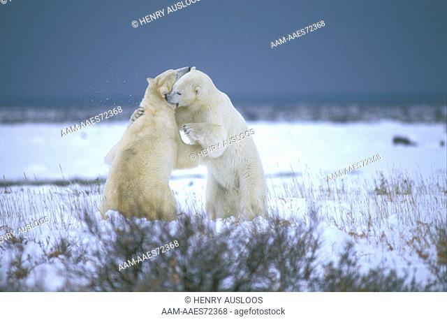 Polar Bear Fighting, Canada - Ours Blanc - Combat - (Ursus maritimus)