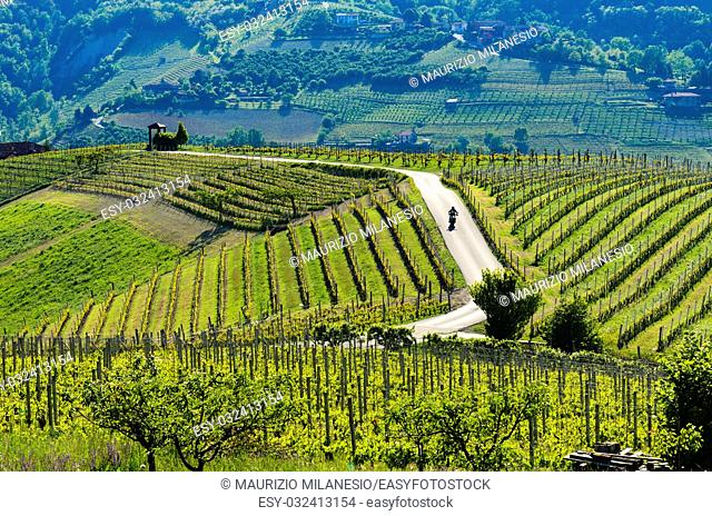 Motorcyclist on the road passing through the hills and the suggestive vineyards above the city of Alba Piedmont Italy
