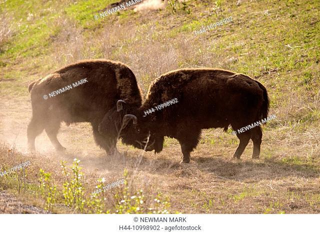 bison fighting