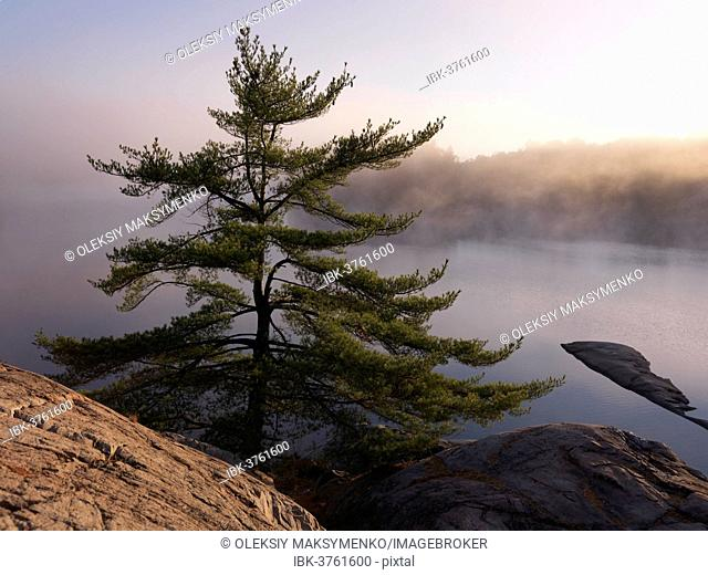 Pine tree (Pinus) on the shore of mist covered lake George, Killarney Provincial Park, Ontario Province, Canada