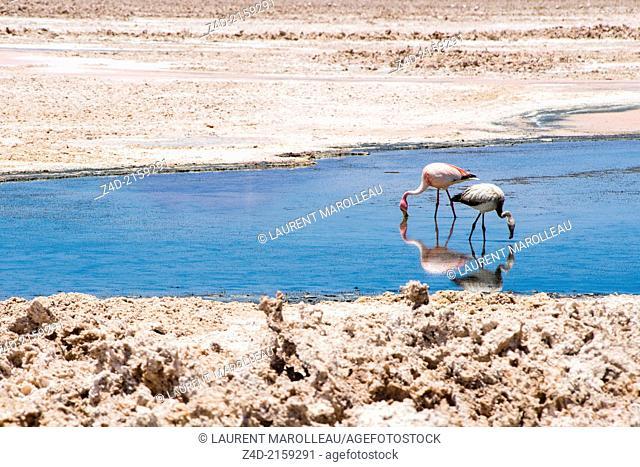 Chilean Flamingo, Phoenicoparrus jamesi : Adult and young. Chaxa Lagoon, Soncor Sector, Salar de Atacama, Reserva Nacional Los Flamencos, San Pedro de Atacama