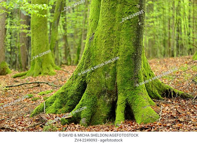 Close-up of a European beech or common beech (Fagus sylvatica) tree-trunk in a forest in spring