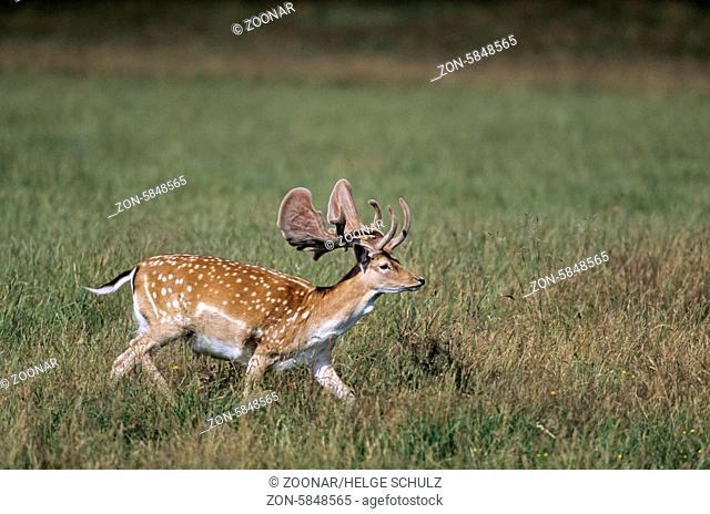 Damhirsch mit Bastgeweih im Hochsommer / Fallow Deer stag with velvet antler / Dama dama (dama) - (Cervus dama)