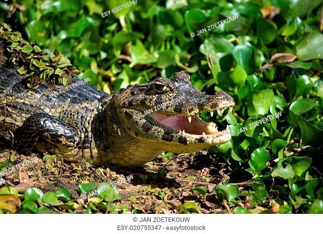 Yacare Caiman in the Brazil Pantanal