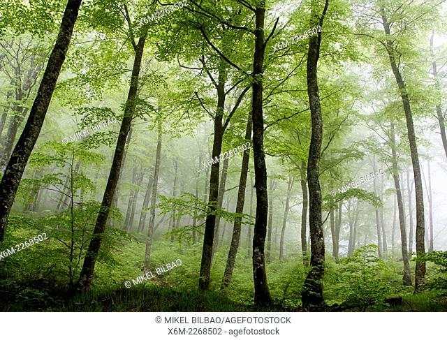 Beechwood in the mist. Urbasa mountain range. Navarre, Spain, Europe