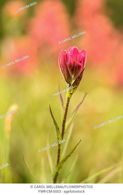 Indian paintbrush, Castilleja linariifolia. Single flower comprising of pink bracts and sepals