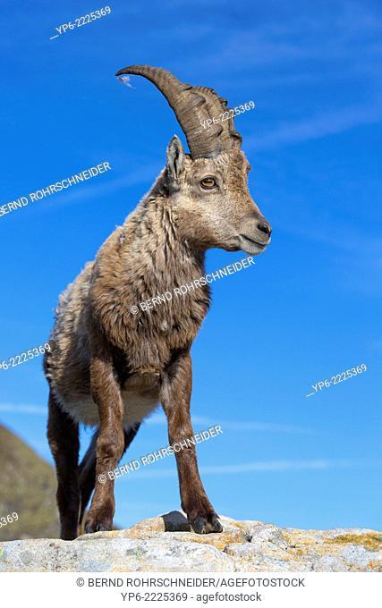 young male Alpine Ibex (Capra ibex) standing on rock, Niederhorn, Switzerland