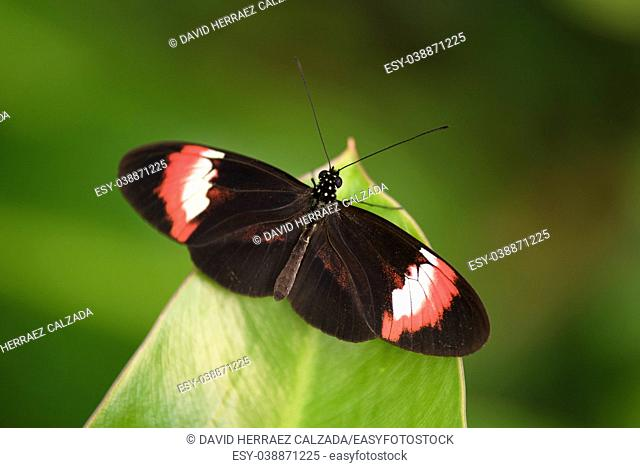 Butterfly (Heliconus Melpomene) on green leaf