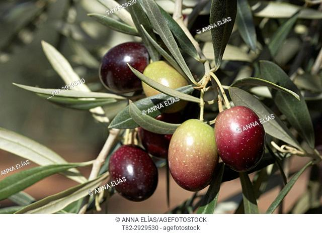 verdial olive, Andalucia, Spain, Europe