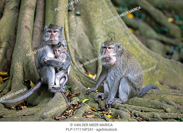 Family of crab-eating macaques / Balinese long-tailed macaque (Macaca fascicularis) with juvenile on the island Lombok, Indonesia