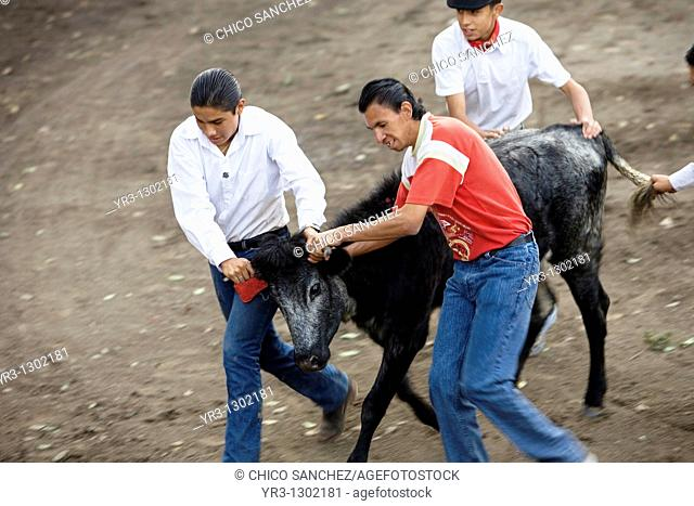 Apprentice bullfighters guide a cow out of the ring during a bullfight in Tlaxcala, Mexico, November 13, 2008