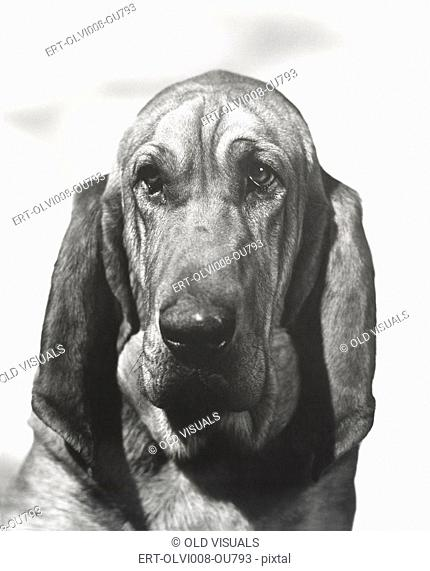 Portrait of a bloodhound