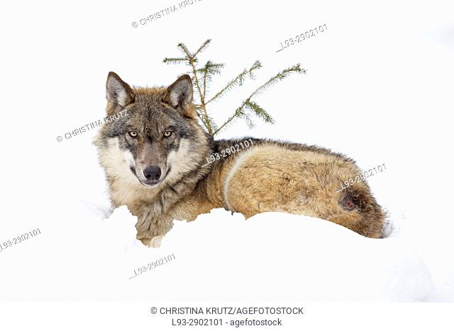 Wolf (Canis lupus), Bavarian Forest National Park, Germany