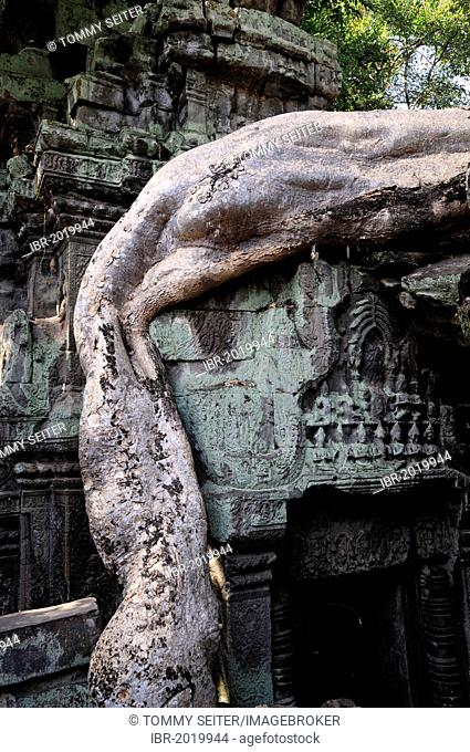 Large tree root on historic ruins, Ta Prohm temple, temple complex of Angkor Wat in the jungle, Siem Reap, Cambodia, Asia