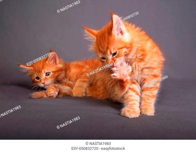 Two red solid maine coon kitten. One of them is biting the clawing on the paw on grey background. Closeup portrait