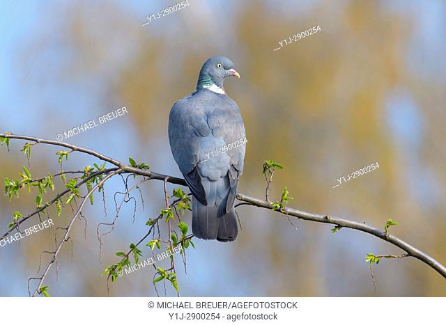 Woodpigeon, Columba palumbus, Hesse, Germany, Europe