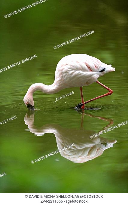 Close-up of a Lesser Flamingo (Phoenicopterus minor) in a little pond