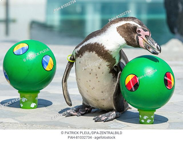 At second attempt, Humboldt-penguin 'Flocke', who lives in the swimming bath Spreewelten-Bad in Luebbenau, Germany, prods the ball with the German flag from its...