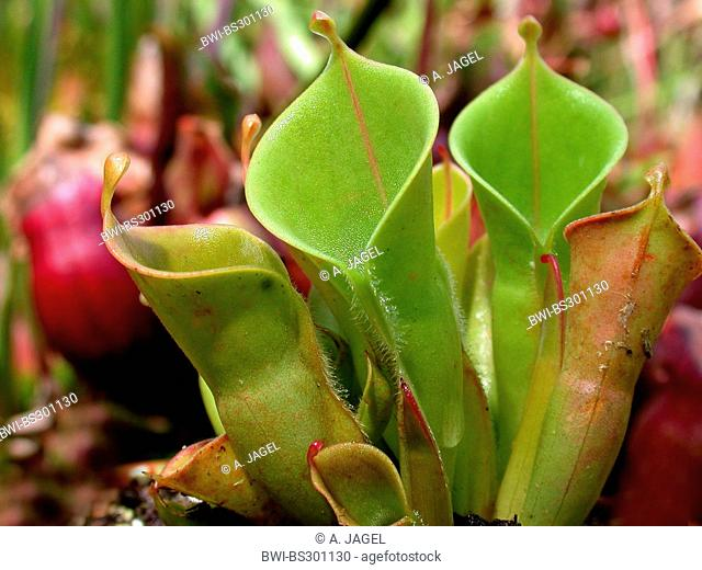 sun pitcher (Heliamphora minor), carnivorous plant, pitcher traps