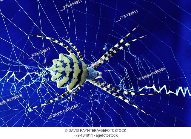 Orb weaver spider. Kruger National Park. South Africa
