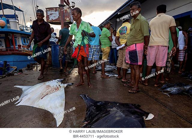 Local fishermen with reef manta ray (Manta alfredi) in front of fish market, Beruwela, Western Province, Sri Lanka