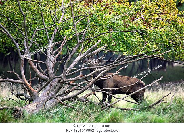 Red deer (Cervus elaphus) head-shaking stag displaying by braking off branches from fallen tree during the rut in autumn forest