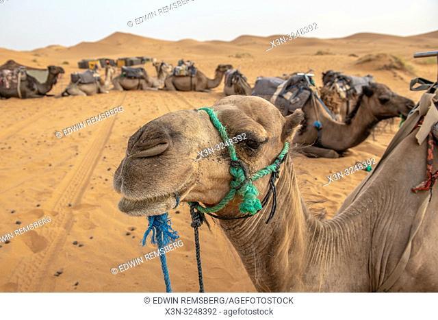 Close Up of Resting Camel; Merzouga; Morocco; Sahara Desert - Erg Chabbi dunes