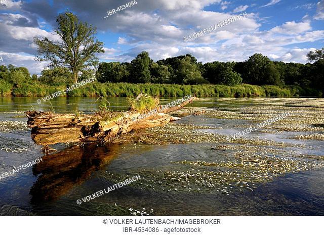 River water-crowfoot (Ranunculus fluitans), river basin near Dessau, biosphere reserve Middle Elbe, Saxony-Anhalt, Germany
