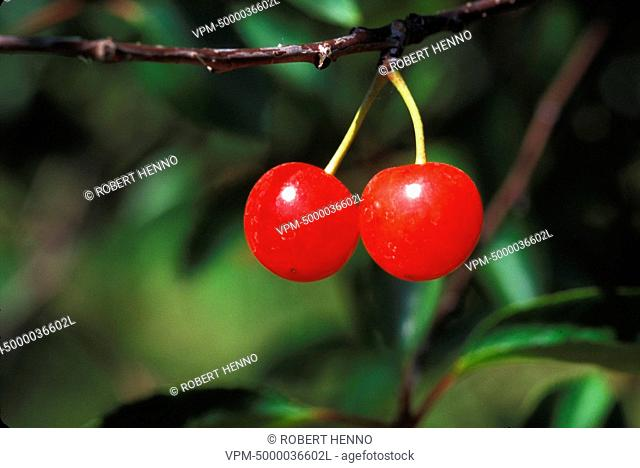 PRUNUS AVIUMSWEET CHERRY TREE