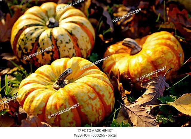 Germany, North Rhine-Westphalia, Minden, pumpkins