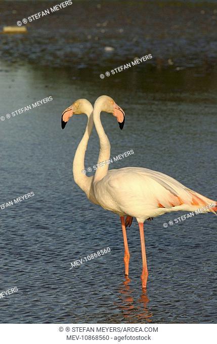 Greater Flamingo - pair (Phoenicopterus ruber). Camargue - France