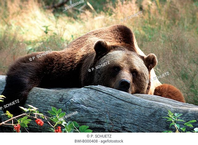European brown bear (Ursus arctos arctos), lying on a fallen tree trunk, Germany