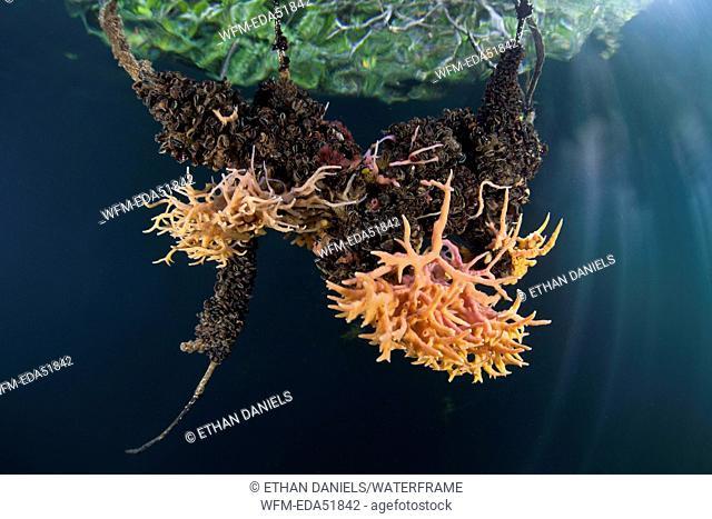 Sponges growing in Mangroves, Porifera, Micronesia, Palau