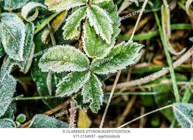 Virginia Creeper (Parthenocissus quinquefolia) Frosted Leaves