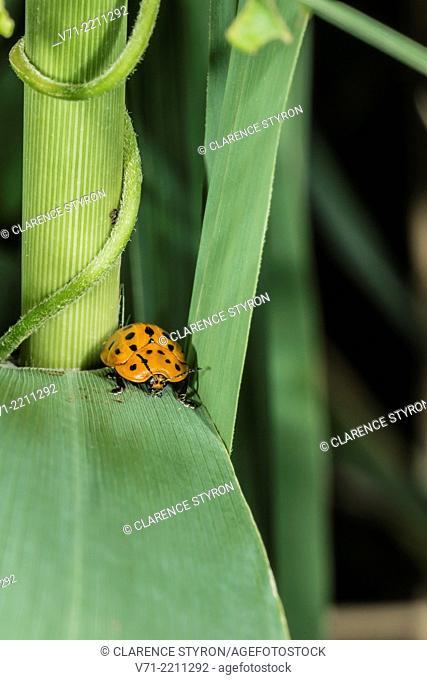 Argus Tortoise Beetle Chelymorpha cassidea on Phragmites Phragmites australis