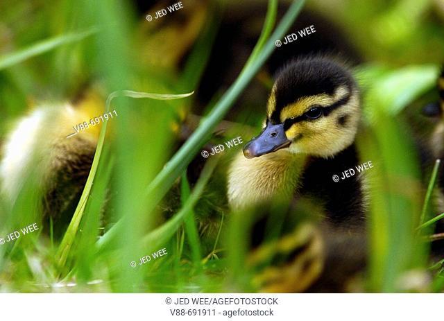 Mallard duckling (Anas platyrhynchos), at Martin Mere Wildfowl and Wetlands Trust, Lancashire, England, UK