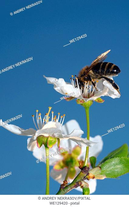 Honey bee (Apis mellifera) collecting pollen, Ukraine, Eastern Europe