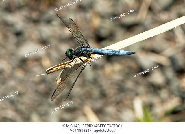 Dragonfly (Erythemis collocata)