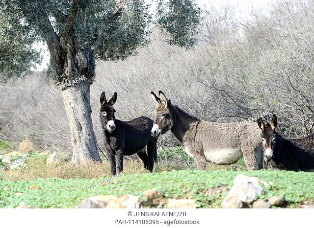 12.12.2018, Turkey, Didim: Donkeys are standing in the Bafasee Nature Park. The water is an inland lake formed on the western coast of Turkey from an earlier...