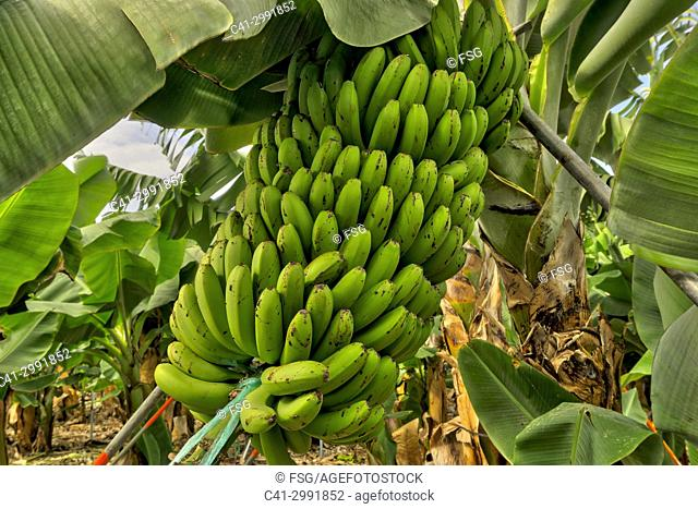 Banana plantation Tazacorte. La Palma. Canary Islands. Spain