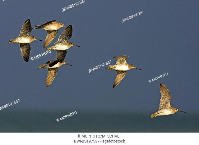 short-billed dowitcher (Limnodromus griseus), flying flock, USA, Florida