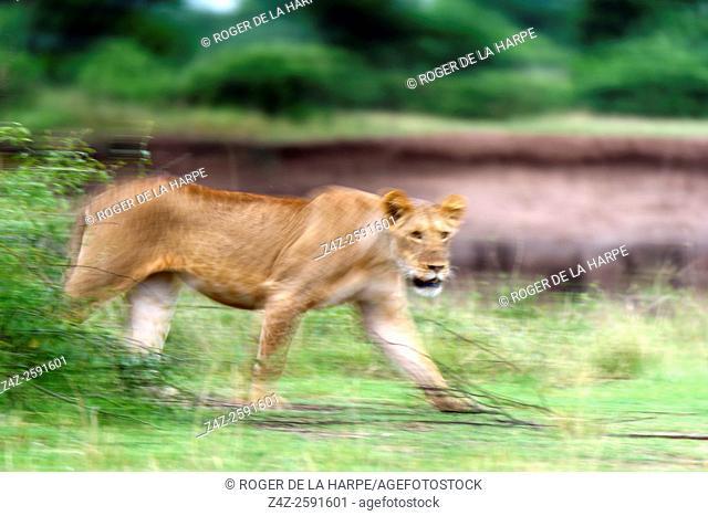 Lion (Panthera leo) walking. Serengeti National Park. Tanzania