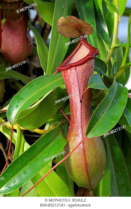 pitcher-plants (Nepenthes ventricosa), leaves modified as trap