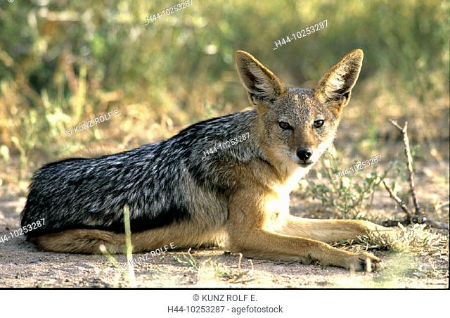 10253287, Canis Mesomelas, innkeeper, national park, lie, Schabracken, jackal, steppe, South Africa