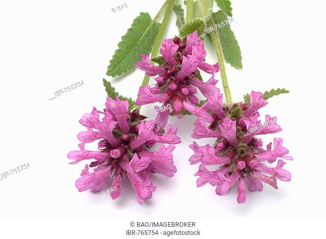 Purple Betony, Wood Betony or Bishop's Wort (Stachys officinalis, Betonica officinalis), medicinal plant
