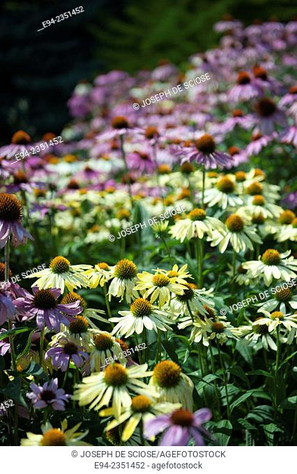 A large stand of Echinacea flowers in a garden in Quebec, Canada