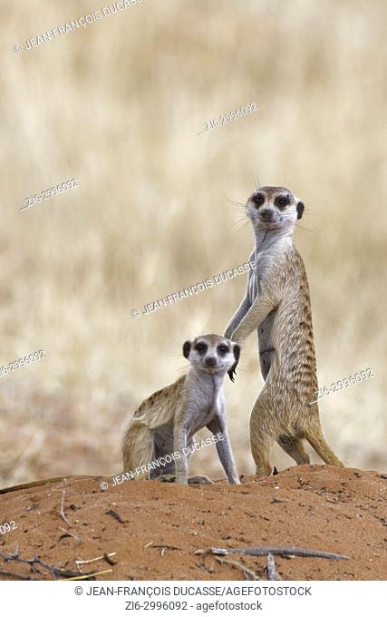Meerkats (Suricata suricatta), adult male and young male at the top of the burrow, alert, Kgalagadi Transfrontier Park, Northern Cape, South Africa, Africa