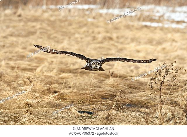 Captive Great Horned Owl Bubo virginianus in flight over a late winter field